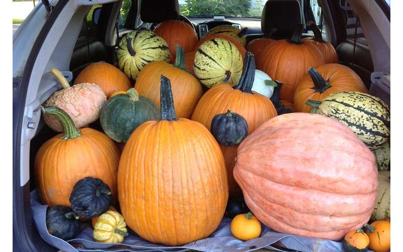 Pumpkins of all shapes and sizes are available for picking.