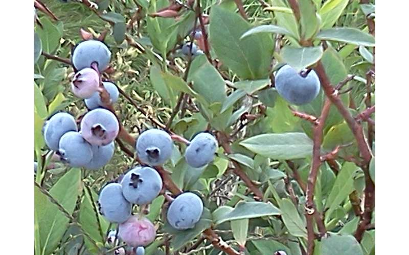 Pick Your Own Berries in season (Blueberries)
