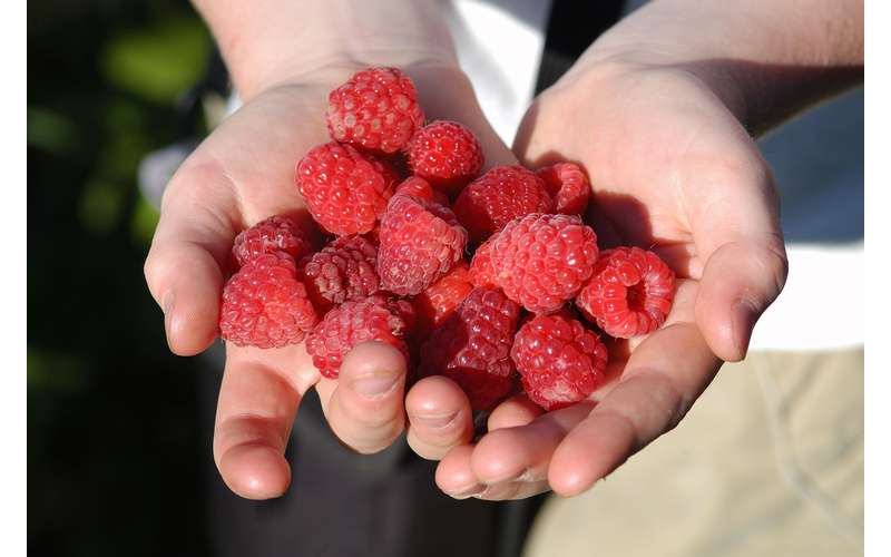 Pick Your Own Berries in season (Red and Black Raspberries)