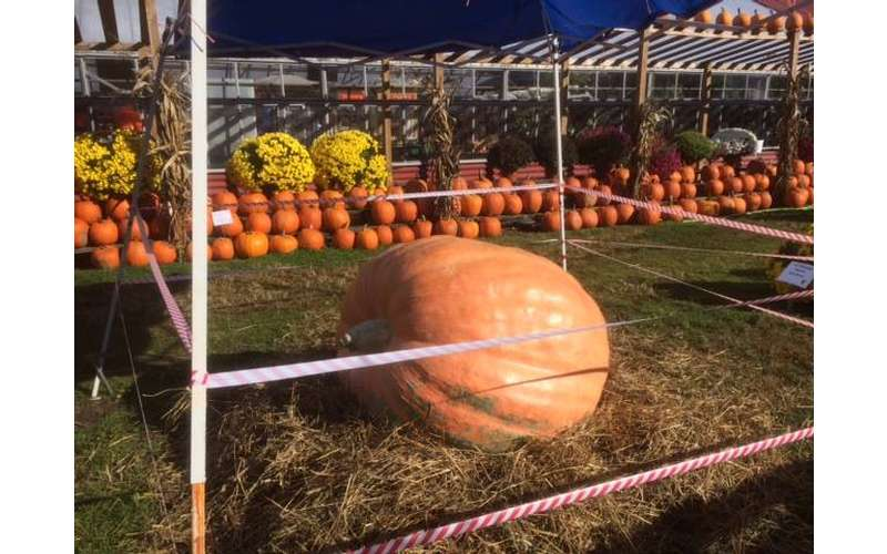 a giant orange pumpkin on display