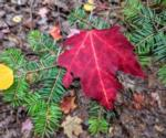 a red maple leaf resting a pine tree's branch