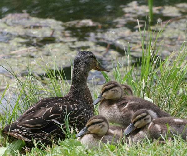 ducks in a park