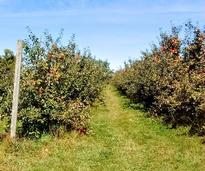 rows of apple trees at an orchard