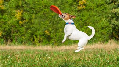 dog catching a frisbee