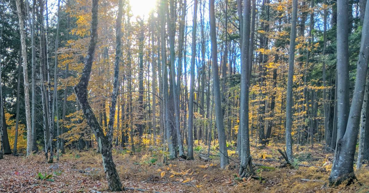 trees in woods with some yellow foliage