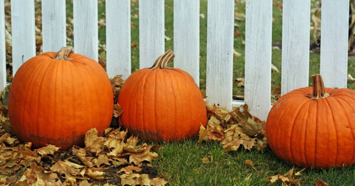 three pumpkins resting by autumn leaves in front of a white fence