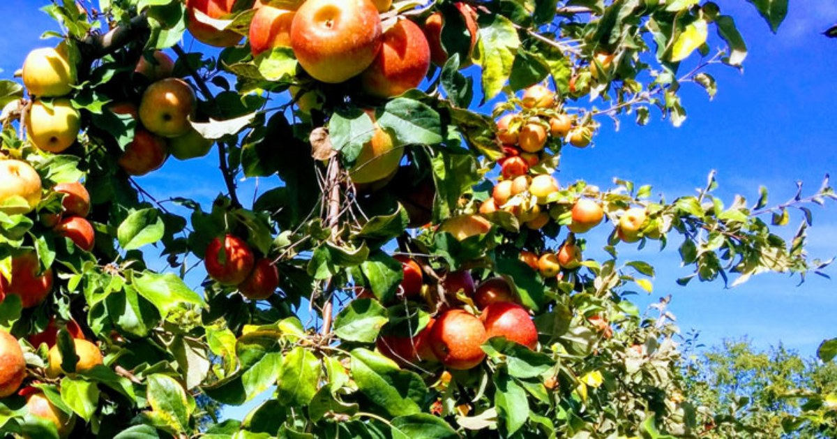 close up of an apple tree