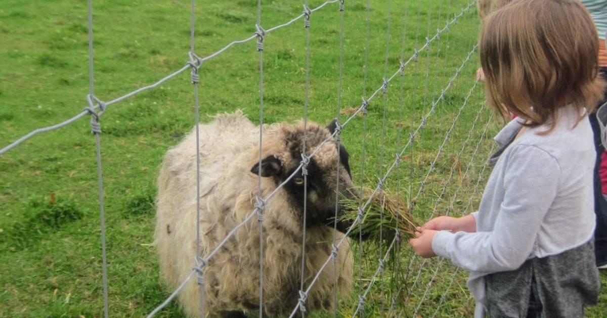 girl feeding sheep