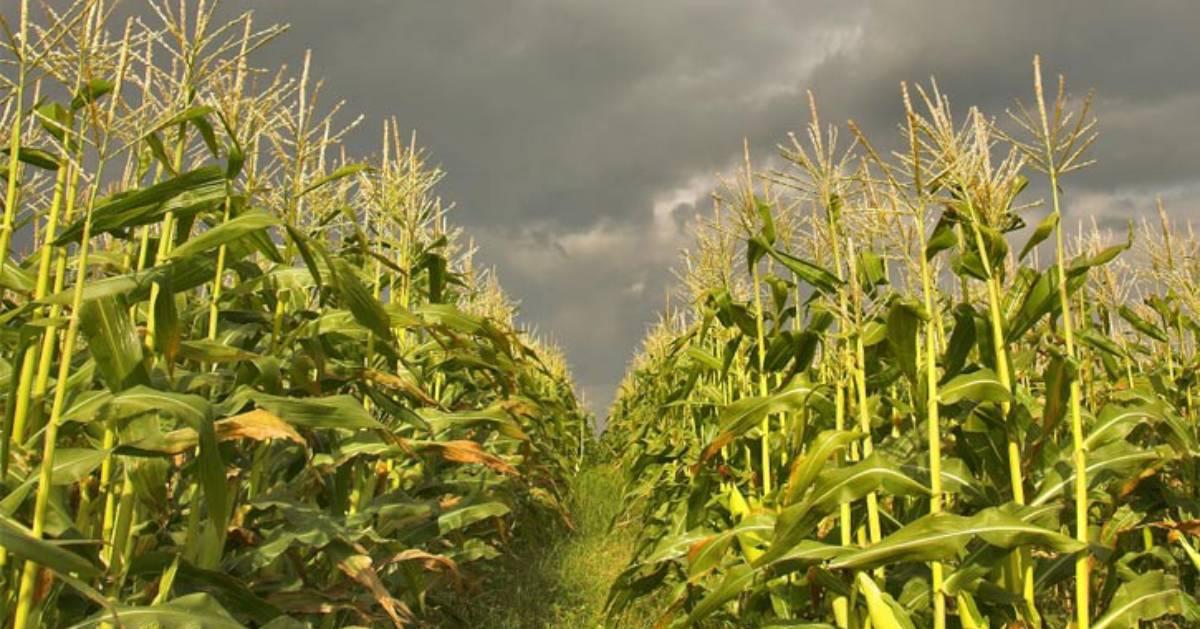 corn maze with dark clouds overhead