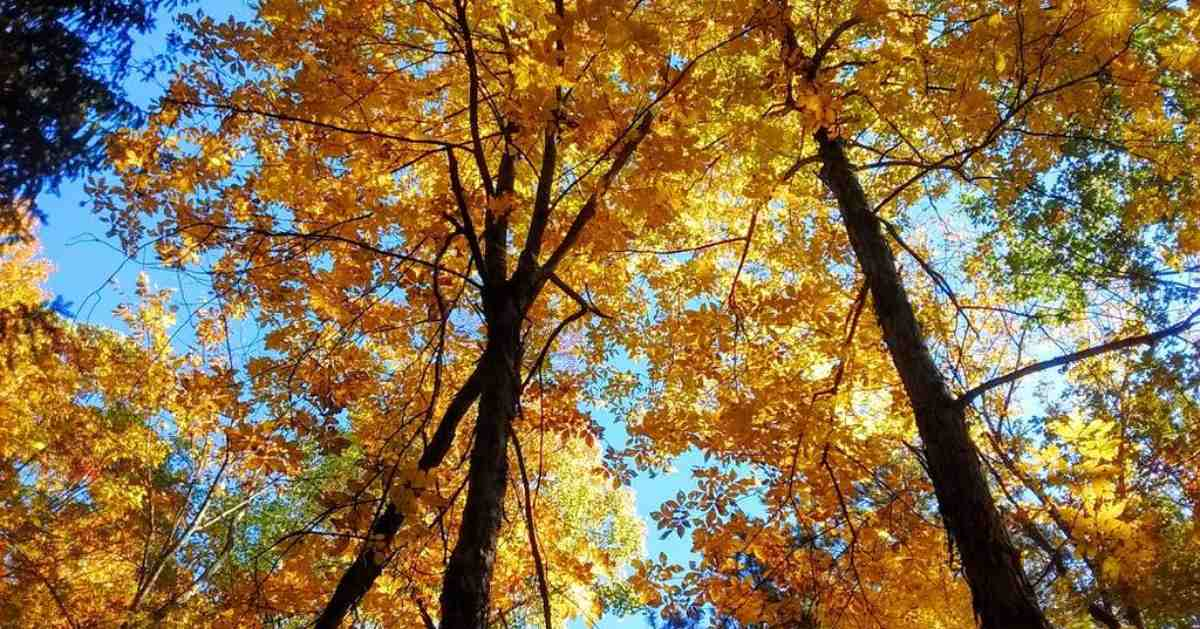 tall trees with orange leaves
