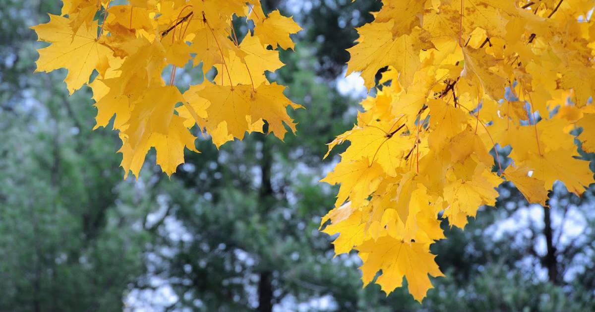 yellow leaves from tree