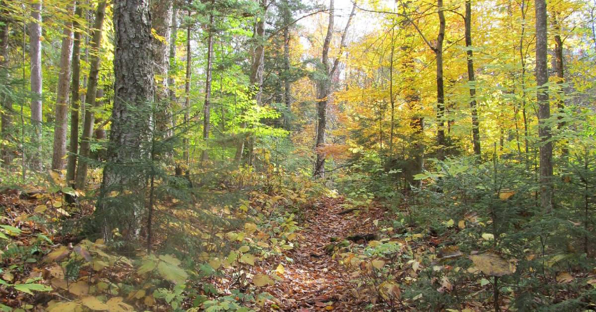 fall foliage on trail in woods