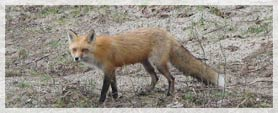 A red fox in the Adirondacks