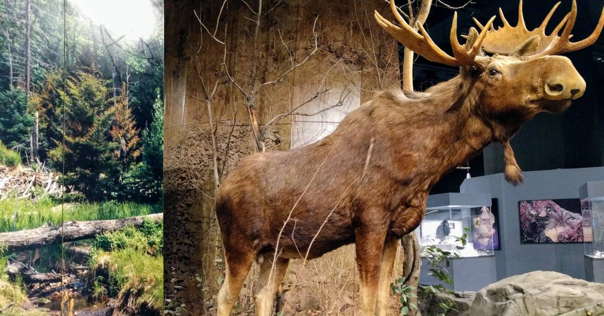 stuffed moose in museum