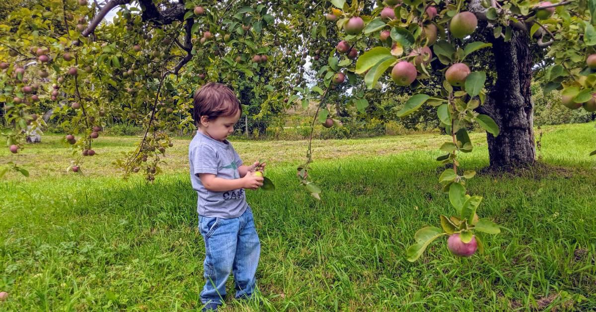toddler picking apples