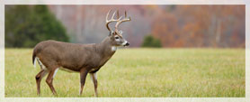 white-tailed deer with autumn leaves