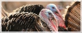 two turkeys close-up