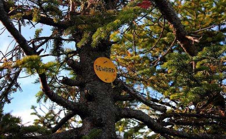 circular yellow trail marker that says seward nailed to a tree