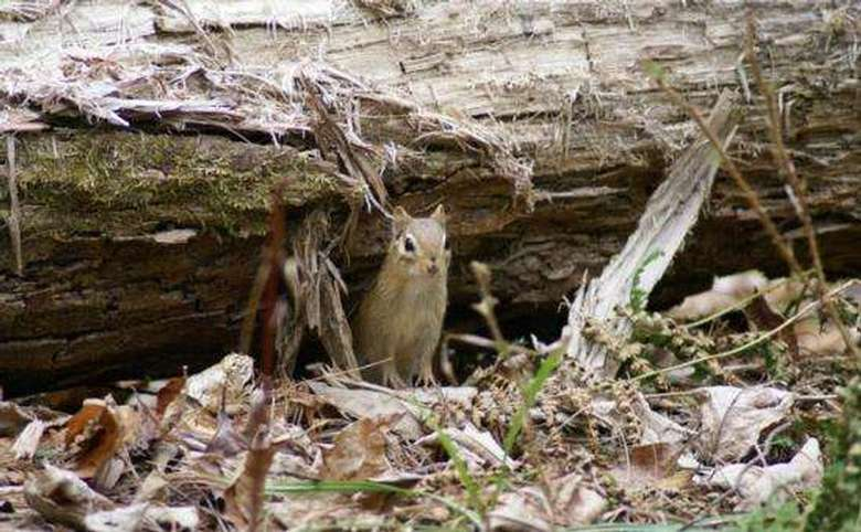 chipmunk peeking out from under a log