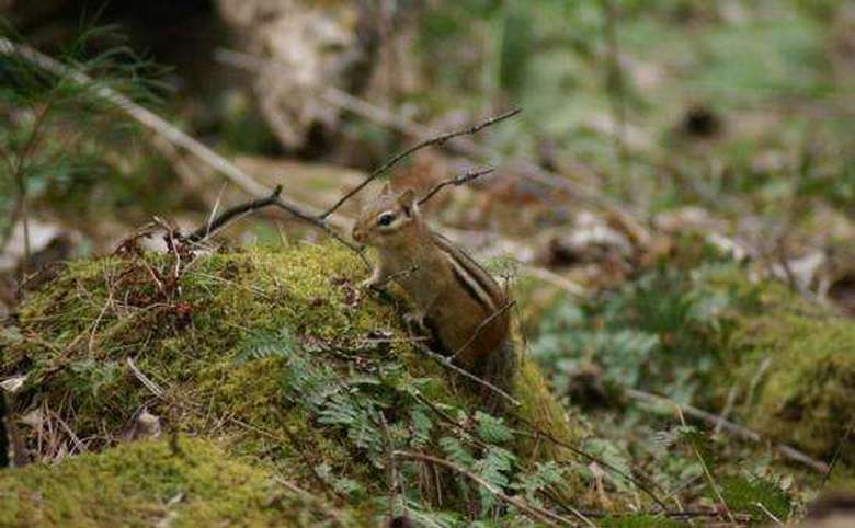 chipmunk sitting on a patch of moss