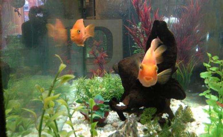 two large orange fish in a tank