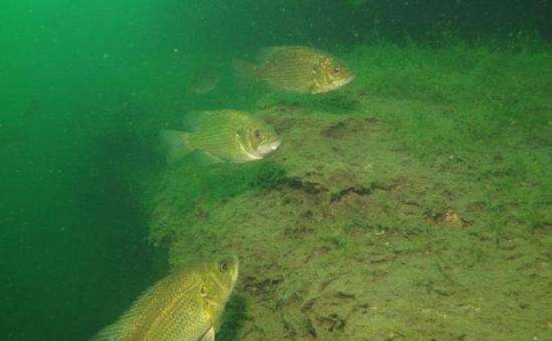 Underwater view of fish in Lake George