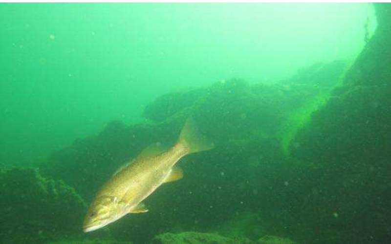 Underwater view of a fish in Lake George