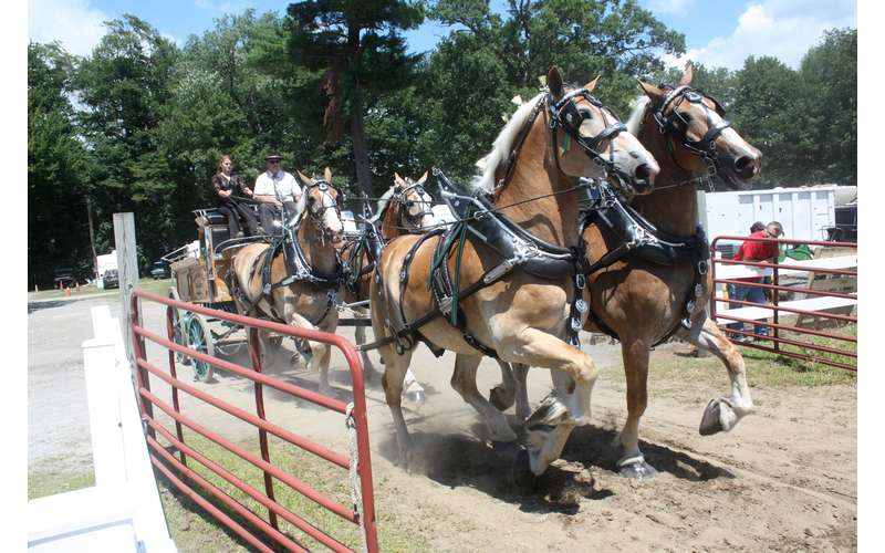 The draft horses are large, beautiful animals you'll get to see up close.