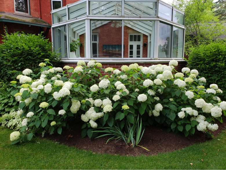 large white hydrangeas in front of a glassed-in porch