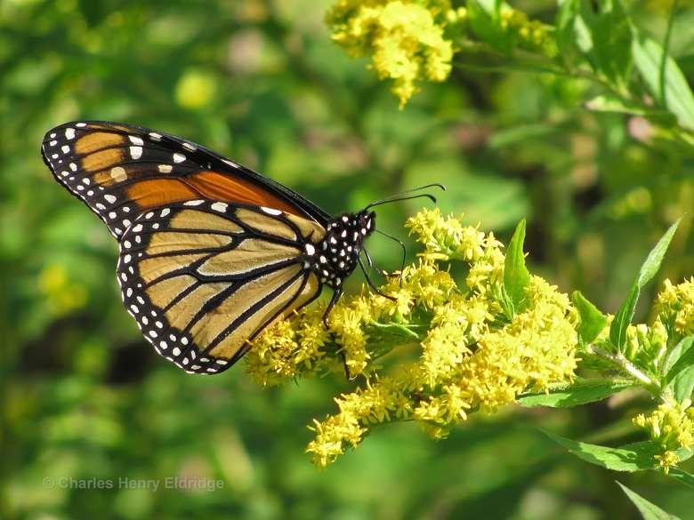 Monarch sitting on a flower in Stony Creek
