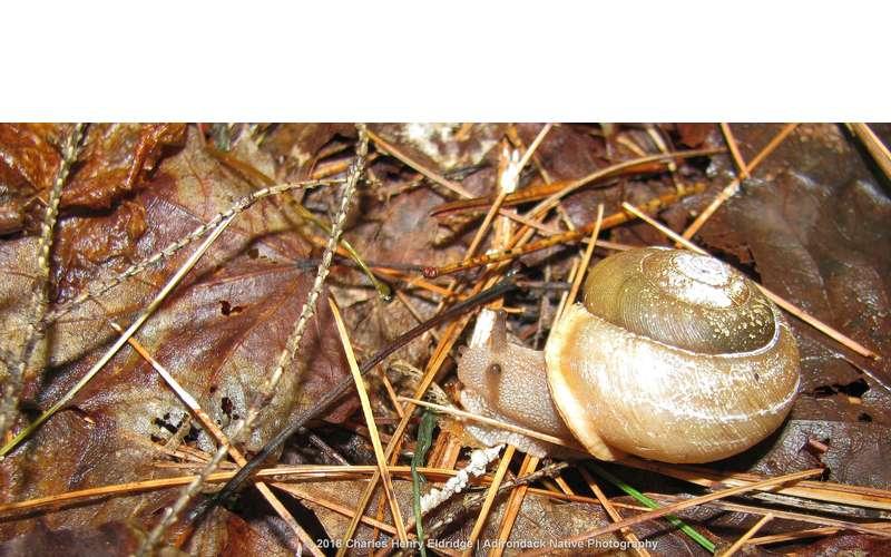 """Adirondack Woodland Snail"""