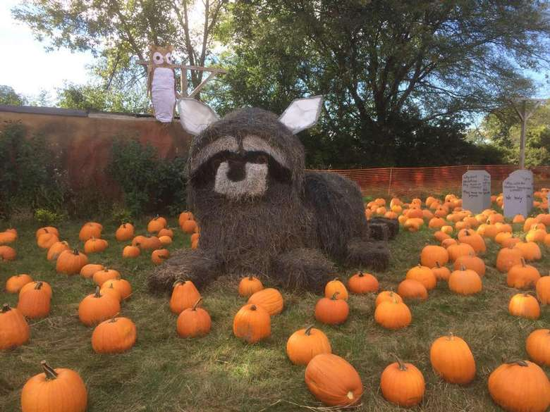 hay bales built to look like a raccoon in the middle of a pumpkin patch