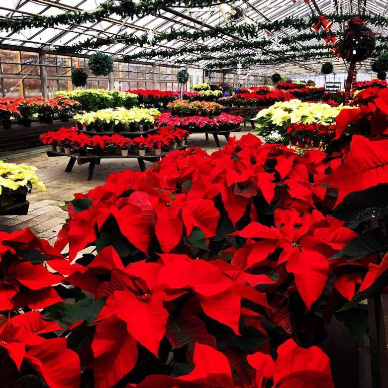 red and yellow poinsettias in a greenhouse