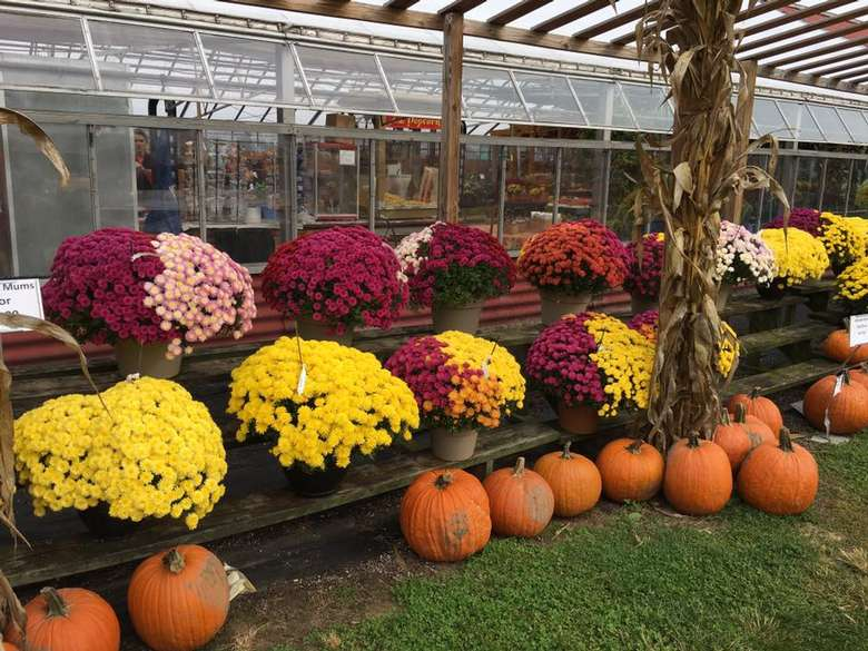 red, yellow, and pink mums and pumpkins on display