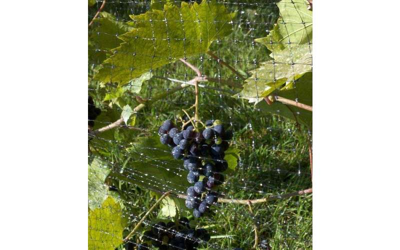 premium grapes on the vine