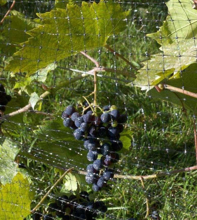premium grapes on the vine