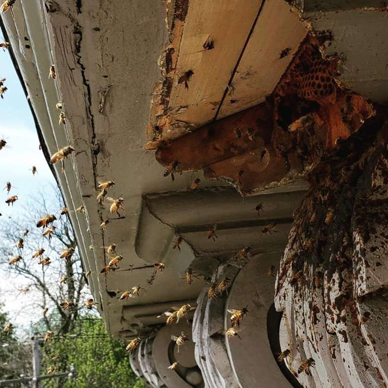 a bee hive in a house, lots of bees