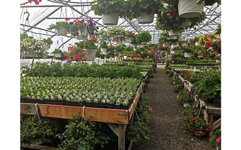 plants and hanging baskets in a nursery