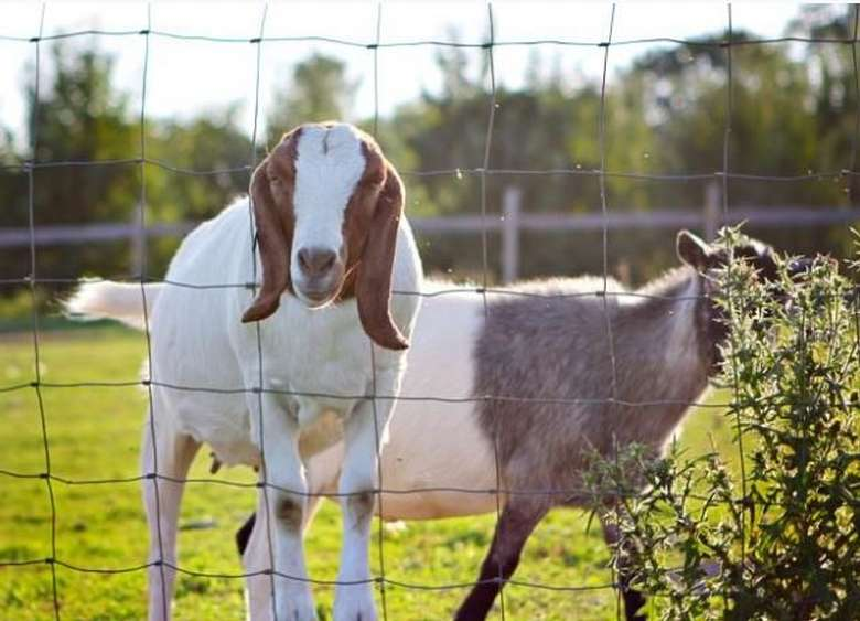 two goats in a fenced area