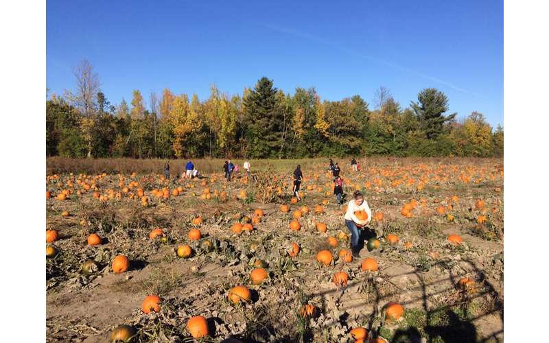 people picking pumpkins at a large pumpkin patch
