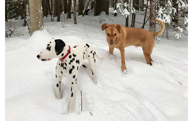 a Dalmatian and a brown dog play in the snow