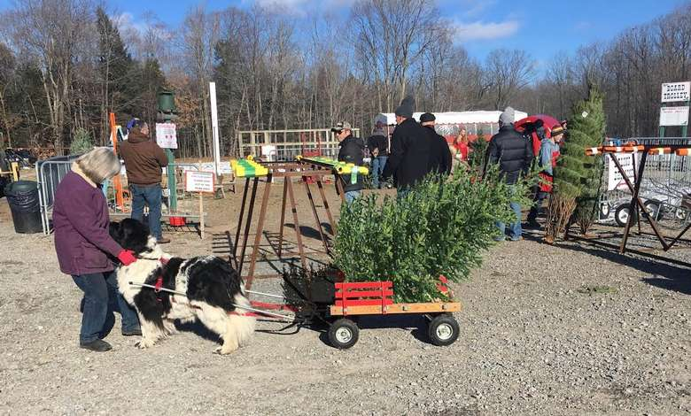 dog pulling cart with small Christmas tree