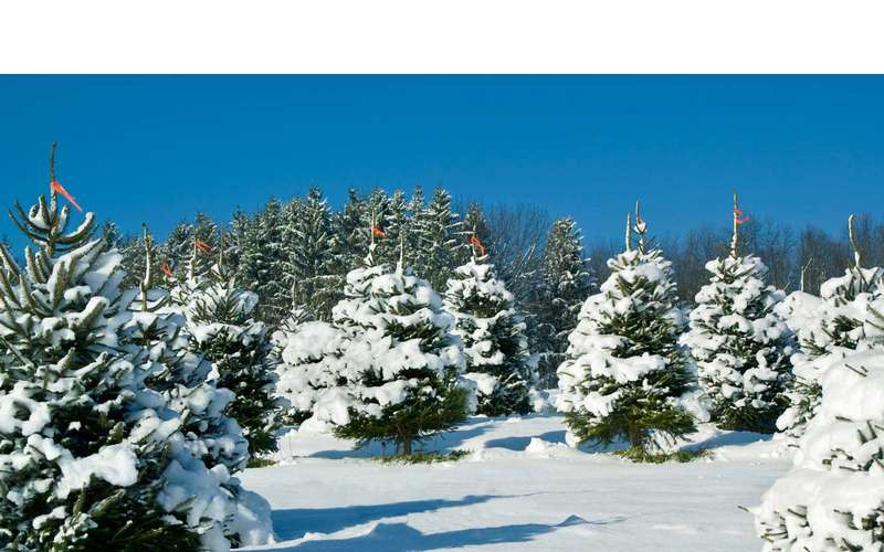 a large farm of christmas trees with snow on them