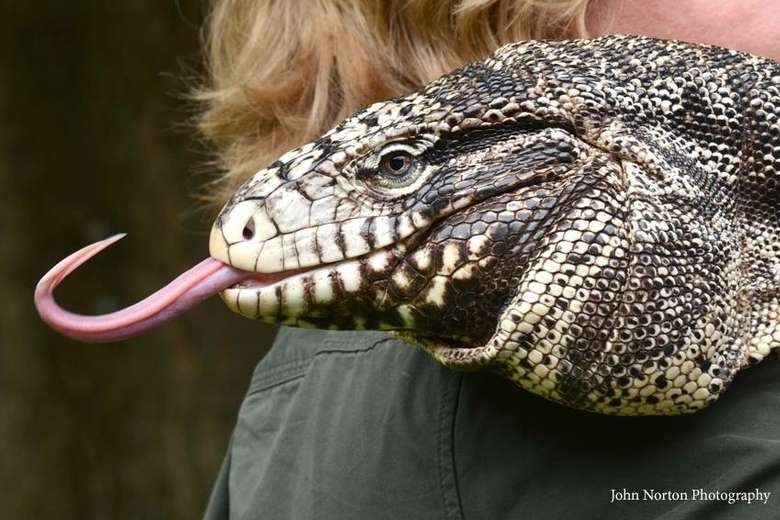 close up of a large lizard with his tongue out