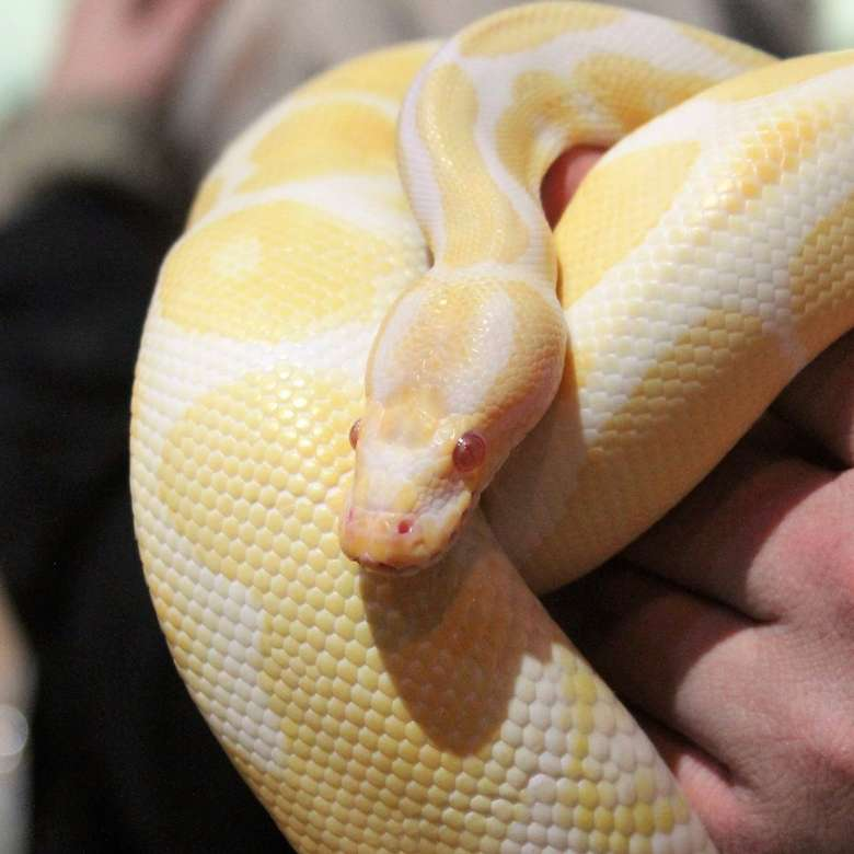 a yellow and white snake