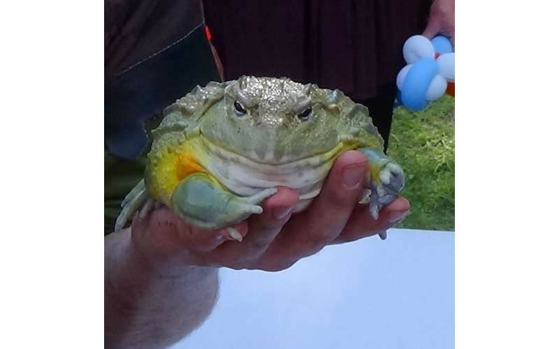 Drax our GIANT African bullfrog!