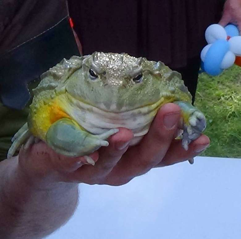 man holding a giant african bullfrog