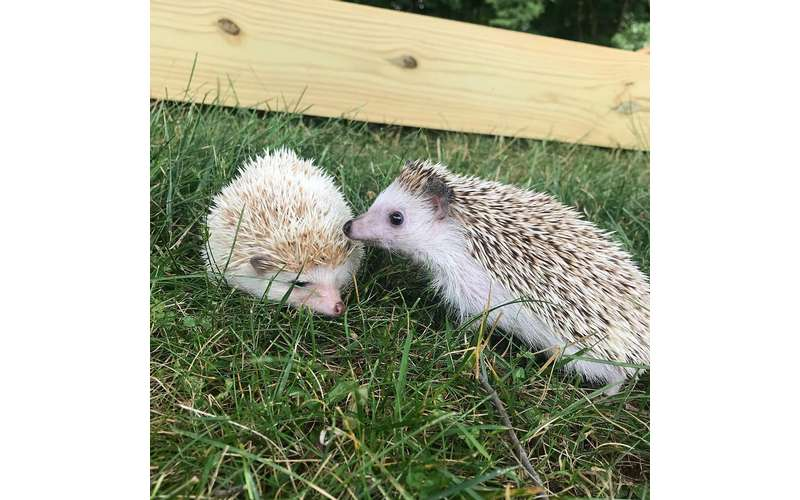 We also offer an animal show which includes a wider variety of animals than our reptiles, like one of our cute hedgehogs!