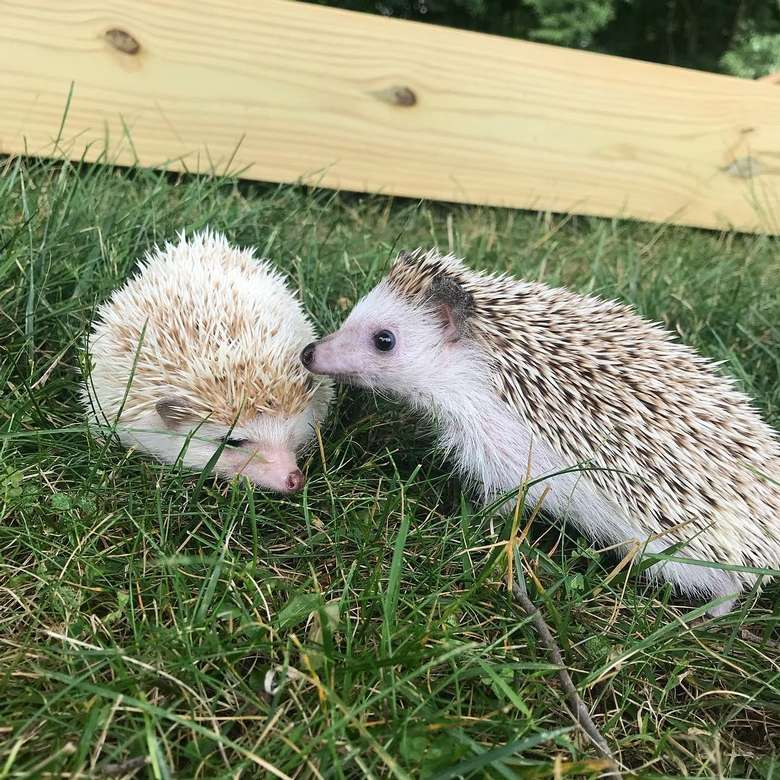 two tiny hedgehogs in the grass