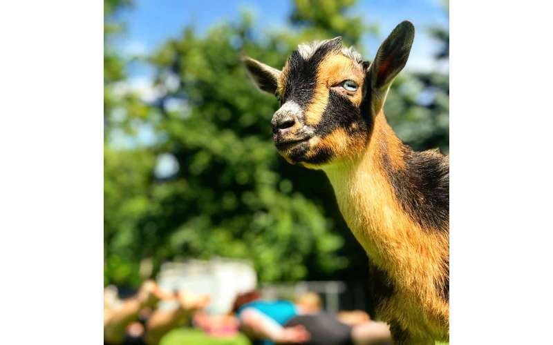 Goat Yoga Near Saratoga Springs, NY | Into the Woods Farm